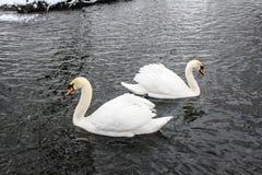 在冬天池塘的两只白色天鹅 库存照片