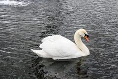 在冬天池塘的白色天鹅 免版税图库摄影
