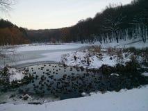 在冬天池塘的鸭子 免版税图库摄影
