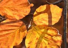 在冬天沐浴的金黄明亮桤木叶子太阳 库存照片