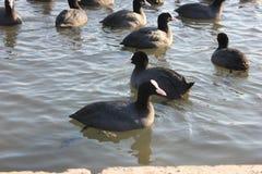 在冬天河的鸭子 库存照片