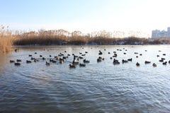 在冬天河的鸭子 免版税库存图片