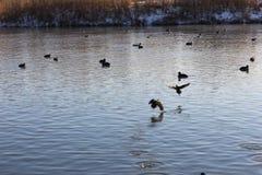 在冬天河的鸭子 库存图片