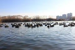 在冬天河的鸭子 免版税库存照片