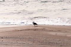 在冬天海滩的一只海鸥 库存图片