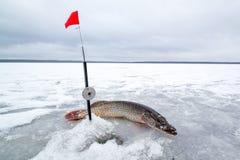 在冬天渔的被捉住的矛在冰 免版税库存图片
