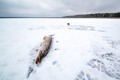 在冬天渔的被捉住的矛在冰 库存照片