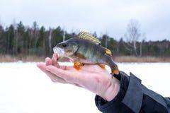 在冬天渔的被捉住的矛在冰 免版税库存照片