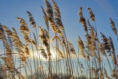 在冬天湖的金纸莎草在冬天好日子 免版税库存照片