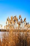 在冬天湖的金纸莎草 免版税库存照片