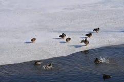 在冬天湖的鸭子 库存照片