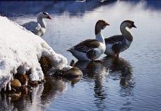 在冬天湖的鹅 免版税库存图片