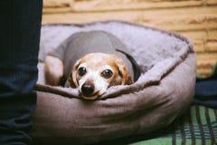 在冬天穿戴的年长达克斯猎犬狗 库存图片