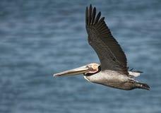 飞行布朗鹈鹕加利福尼亚 免版税库存照片