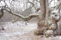 在冬天结冰的一棵古老树的多节野兽 库存图片
