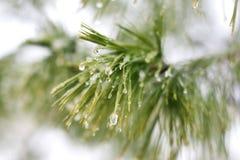 在冬天美国五针松树的冰小滴 免版税库存图片