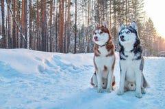 在冬天背景的美丽的画象两爱斯基摩 画象红色和黑西伯利亚爱斯基摩人 画象逗人喜爱的多壳的狗 免版税库存图片