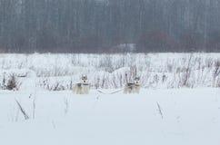 在冬天背景的西伯利亚爱斯基摩人狗 站立在雪的两条令人惊讶的多壳的狗 免版税图库摄影