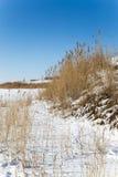 在冬天自然的芦苇 库存图片