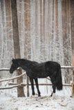 在冬天草甸的一匹马 图库摄影