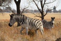 在冬天草草原的斑马 库存照片