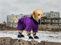 在冬天衣物的逗人喜爱的长卷毛狗小狗 免版税库存照片