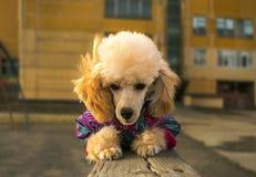 在冬天衣裳的愉快的小狗长卷毛狗,手表说谎 免版税库存照片