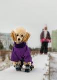 在冬天衣裳的逗人喜爱的长卷毛狗小狗 免版税图库摄影