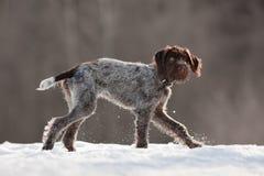 在冬天被弄脏的背景的幼小猎犬 免版税图库摄影