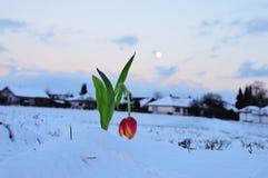 在冬天装饰的红色郁金香 库存照片