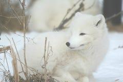 在冬天设置的白狐 免版税库存图片