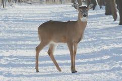 在冬天足迹的被遮蔽的白尾鹿 库存图片