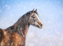 在冬天降雪的阿拉伯幼小公马 库存图片