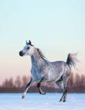 在冬天雪原的灰色阿拉伯公马在日落 库存照片