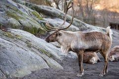 在冬天雪时间的驯鹿画象 免版税库存图片