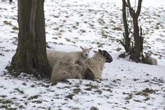 在冬天雪期间,产小羊说谎在一个冷的领域的母亲绵羊 图库摄影