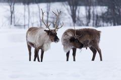 在冬天雪的北美驯鹿 免版税库存照片