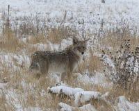 在冬天雪的土狼 免版税库存照片