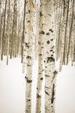 在冬天雪的桦树 库存照片