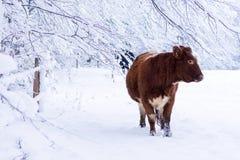 在冬天雪的母牛 免版税库存图片