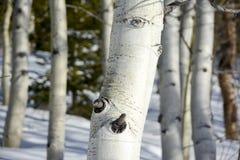在冬天雪的白色白杨木吠声 免版税库存图片