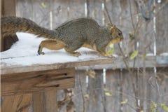 在冬天雪的花栗鼠 库存图片