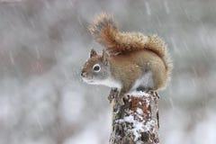 在冬天雪风暴的美国红松鼠 免版税库存图片