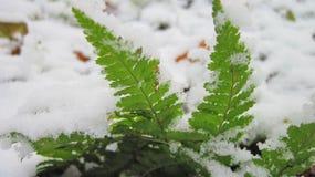 在冬天雪,立陶宛的绿色叶子 免版税图库摄影