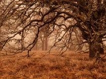 在冬天雾的橡树 库存照片