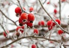 在冬天霜特写镜头的红色野玫瑰果莓果 免版税图库摄影