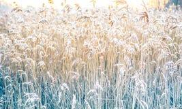 在冬天霜的芦苇 免版税库存照片