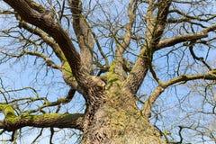 在冬天露出与蓝天的不生叶的橡树底视图 库存图片