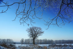 在冬天领域中的孤立树 库存照片