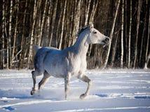 在冬天领域的灰色阿拉伯马奔跑 免版税库存照片
